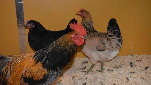 Kukko ja kaksi kanaa kotikanalassa.
