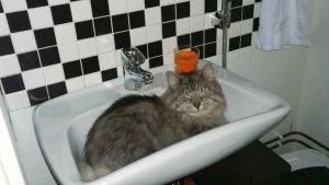 Micu-kissa nukkuu kissakahvilan vessan lavuaarissa.