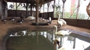 joutsenia ja muita lintuja lammessa