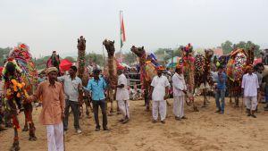 Kamelien koristelukilpailun osallistujat seisovat yleisön ja tuomariston arvioitavana.