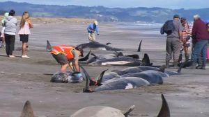 Rannalle menehtyneitä valaita.