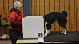Saija Helttusen Tahvo koira opettelee haistamaan kiimaa.