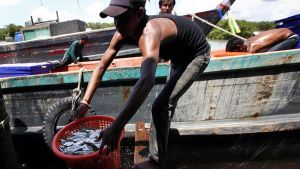 mies nostaa korilla kalaa veneestä