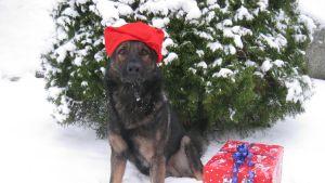 Poliisikoira Huntti poseeraa joululakki päässä