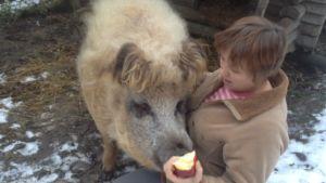 Villasika syö omenaa naisen kädestä.
