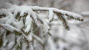 Luminen kuusenoksa.