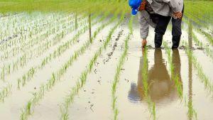 Fukushiman alueella riisiä kasvattava maanviljelijä tarkisti satoaan toukokuussa 2012.