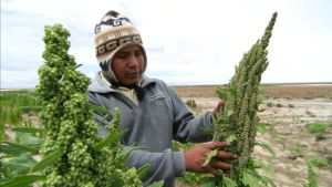 Kvinoa on Andien vuoriston alkuperäisvilja, jota pidetään terveyspommina.