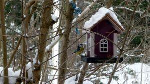 lintu sinitiainen lintulauta ruokinta-automaatti talviruokinta