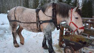 Vaalea hevonen syö heiniä ulkona talvella