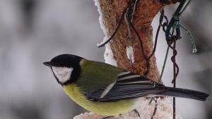 talitintti lintujen ruokintapaikalla