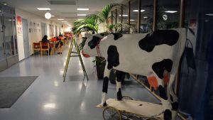 Oulun taidekoulun uusissa tiloissa Nuottasaaren koululla on tilaa. Ulla-lehmä on kulkenut mukana jo usean muuton ajan.