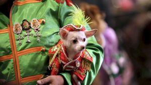 Muodikkaasti puettu koira New Yorkin muotiviikon lemmikkieläinmuotinäytöksessä.
