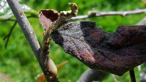 Erwinia amylovora –bakteerin aiheuttama limapisara oksanhangan alapuolella.