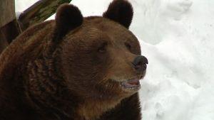 Ähtärin eläinpuiston Mörri-karhu on herännyt talviunilta.