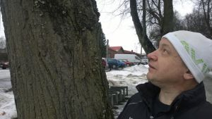 Puutarhuri, puuharrastaja Tapio Ykspetäjä silmäilee puistolehmusta Hämeenlinnan rautatiepuistossa.