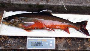Saimaannieriä on luokiteltu erittäin uhanalaiseksi kalalajiksi.