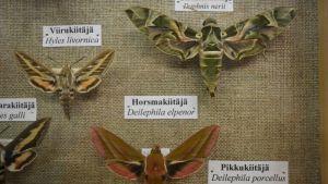 Kiitäjien sukuun kuuluvia perhoslajeja Vesa Hyyryläisen vitriinissä.