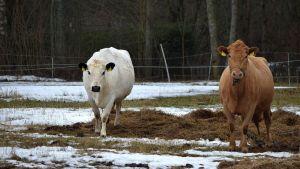Valkoinen ja ruskea lehmä talvisella laitumella