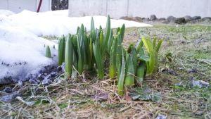 Narsissin varsia kohmeisessa maassa