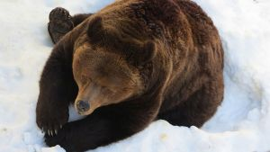 Ranuan eläinpuiston Palle-Jooseppi-karhu 2015.