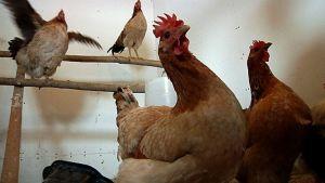 Neljä kanaa kanalassa.