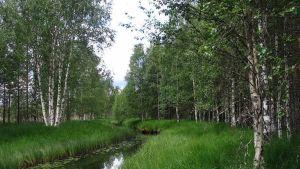 Kuvassa kesäistä metsää, keskellä kuvaa virtaa pieni joki.