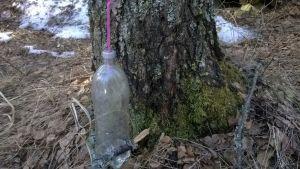 Pillillä koivuun yhdistetty pullo koivun mahlan keräämistä varten