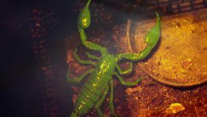 Musta skorpioni loistaa vihreänä uv-valossa