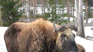 Härkägemssi eli takini on Ähtärin eläinpuiston uusin eläin. Niitä on kaksi ja ne tulivat Korkeasaaresta Ähtäriin viime syksynä.
