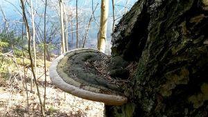 Kääpä kasvaa puussa.