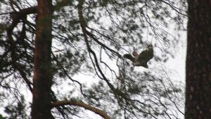 Helsingin Uimastadionilla pesii kanahaukkapariskunta