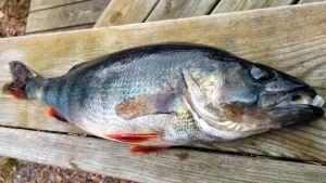 Suomen yleisiin kala ahven.