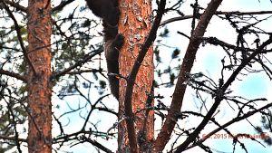 Karhunpentu puussa.