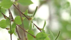Koivun hiirenkorvia ja kukintoja