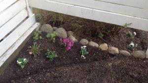 Kukkapenkkiin on istutettu sammalleimuja, jaloritarinkannus, levisia ja orvokeita.