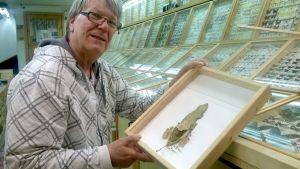 Hyönteisharrastaja Pekka Lunnikivi ja hunajamuurahaisia sekä kenno