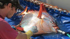 Biologi Owyn Snodgrass valmistautuu asettamaan pyydystetyn kiiltolahnan rintalihakseen lämpötilaa mittaavan sensorin, joka tallentaa ja lähettää lukemia sen jälkeen kun kala on vapautettu takaisin mereen.