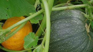 Kurpitsat ovat kasvattaneet suosiotaan hyötykasveina.
