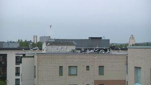 Lokkiparvi nousemassa lentoon kerrostalon katolta