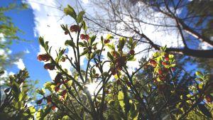 Mustikan kukkia