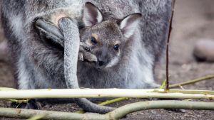 Kengurun poikanen emon pussissa.