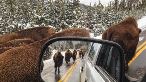 Biisoneita auton vieressä maantiellä Yellowstonen kansallispuistossa.