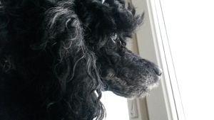 Koira istuu ikkunan vieressä.