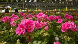 Kuvassa punaisia kukkia kasvihuoneessa. Taustalla liikku pari ihmistä.