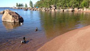 Linnut uivat uimarannalla.