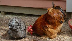 Kana ja kukko syövät maasta jotain