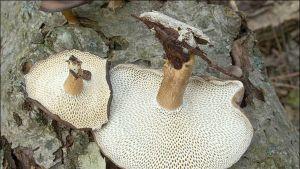 Polyporus brumalis - talvikääpä.