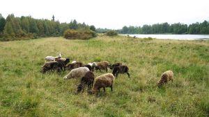 Lampaita laitumella Savukosken Sieriäisillä