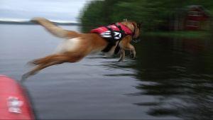 Belgianpaimenkoira Pipa hyppää.
